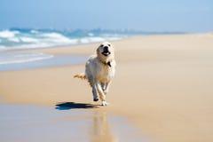 Cão que funciona em uma praia Imagem de Stock Royalty Free
