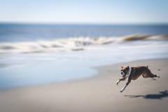 Cão que funciona na água Imagem de Stock