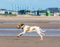 Cão que funciona na água Imagem de Stock Royalty Free