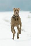 Cão que funciona na neve Fotos de Stock