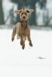 Cão que funciona na neve Fotos de Stock Royalty Free