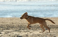 Cão que funciona na praia Fotos de Stock Royalty Free