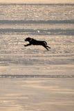 Cão que funciona no lago congelado Imagem de Stock Royalty Free