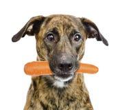 Cão que guarda a cenoura em sua boca Isolado no fundo branco Fotografia de Stock Royalty Free