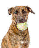 Cão que guarda a couve Isolado no fundo branco fotos de stock royalty free
