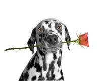 Cão que guarda uma rosa em sua boca Imagens de Stock