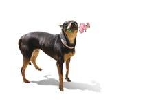 Cão que guarda uma rosa em sua boca Fotos de Stock Royalty Free