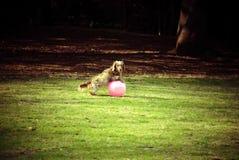 Cão que joga a bola no parque fotografia de stock
