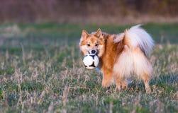 Cão que joga com a bola Fotos de Stock