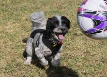 Cão que joga com bola Imagem de Stock Royalty Free