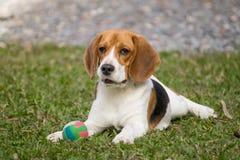 Cão que joga com bola Imagens de Stock