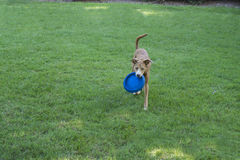 Cão que joga com disco do Frisbee Foto de Stock Royalty Free
