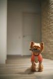 Cão que joga com um brinquedo Fotos de Stock