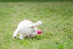 Cão que joga com um brinquedo imagens de stock royalty free