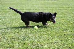Cão que joga com uma bola de tênis Foto de Stock Royalty Free