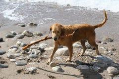 Cão que joga com uma vara imagens de stock royalty free