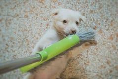 cão que joga com vassoura fotos de stock royalty free