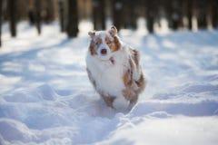 Cão que joga em um parque coberto de neve fotos de stock