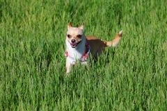 Cão que joga em uma grama Fotografia de Stock Royalty Free