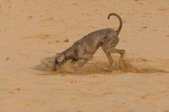 Cão que joga em uma praia imagens de stock royalty free