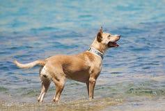 Cão que joga na água Foto de Stock Royalty Free