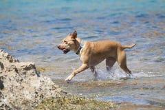 Cão que joga na água Imagens de Stock Royalty Free