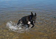 Cão que joga na água Fotografia de Stock