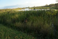 Cão que joga na grama alta do pântano fotos de stock