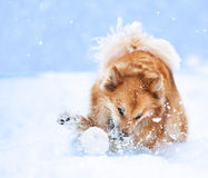 Cão que joga na neve Imagem de Stock Royalty Free