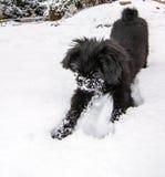 Cão que joga na neve Fotos de Stock
