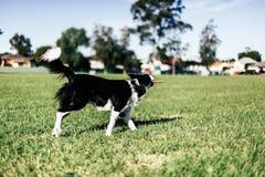 cão que joga na pastagem Imagens de Stock