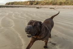 Cão que joga na praia imagem de stock