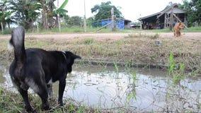 Cão que joga no campo em Phattalung video estoque