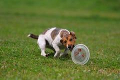Cão que joga no disco do vôo Imagens de Stock