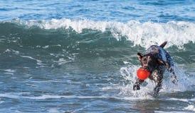 Cão que joga no oceano com uma bola vermelha fotografia de stock