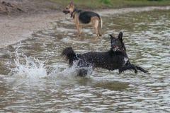 Cão que joga o esforço na água Fotos de Stock Royalty Free