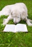 Cão que lê um livro Fotografia de Stock Royalty Free