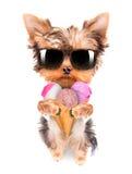 Cão que lambe com gelado Fotografia de Stock Royalty Free