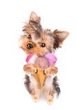Cão que lambe com gelado Imagens de Stock