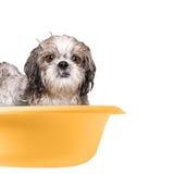 Cão que lava em uma bacia Fotos de Stock Royalty Free
