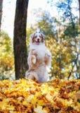 Cão que levanta na folha caída do outono no parque para uma caminhada fotografia de stock royalty free