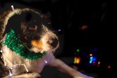 Cão que levanta para o Natal com o chapéu e a luz das cores fotografia de stock