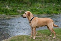 Cão que levanta para um perfil Imagem de Stock Royalty Free