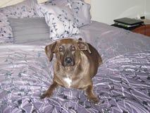 Cão que llaying na cama Foto de Stock