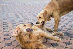 Cão que luta com um cão pelo alimento fotos de stock