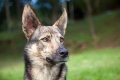 Cão que não olha distante - nenhum olhar da câmera imagens de stock