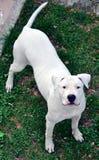 Cão que olha acima Imagens de Stock Royalty Free