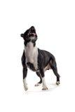 Cão que olha acima Fotografia de Stock Royalty Free