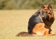 Cão que olha atrás Imagem de Stock Royalty Free