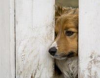 Cão que olha através de uma cerca Fotos de Stock